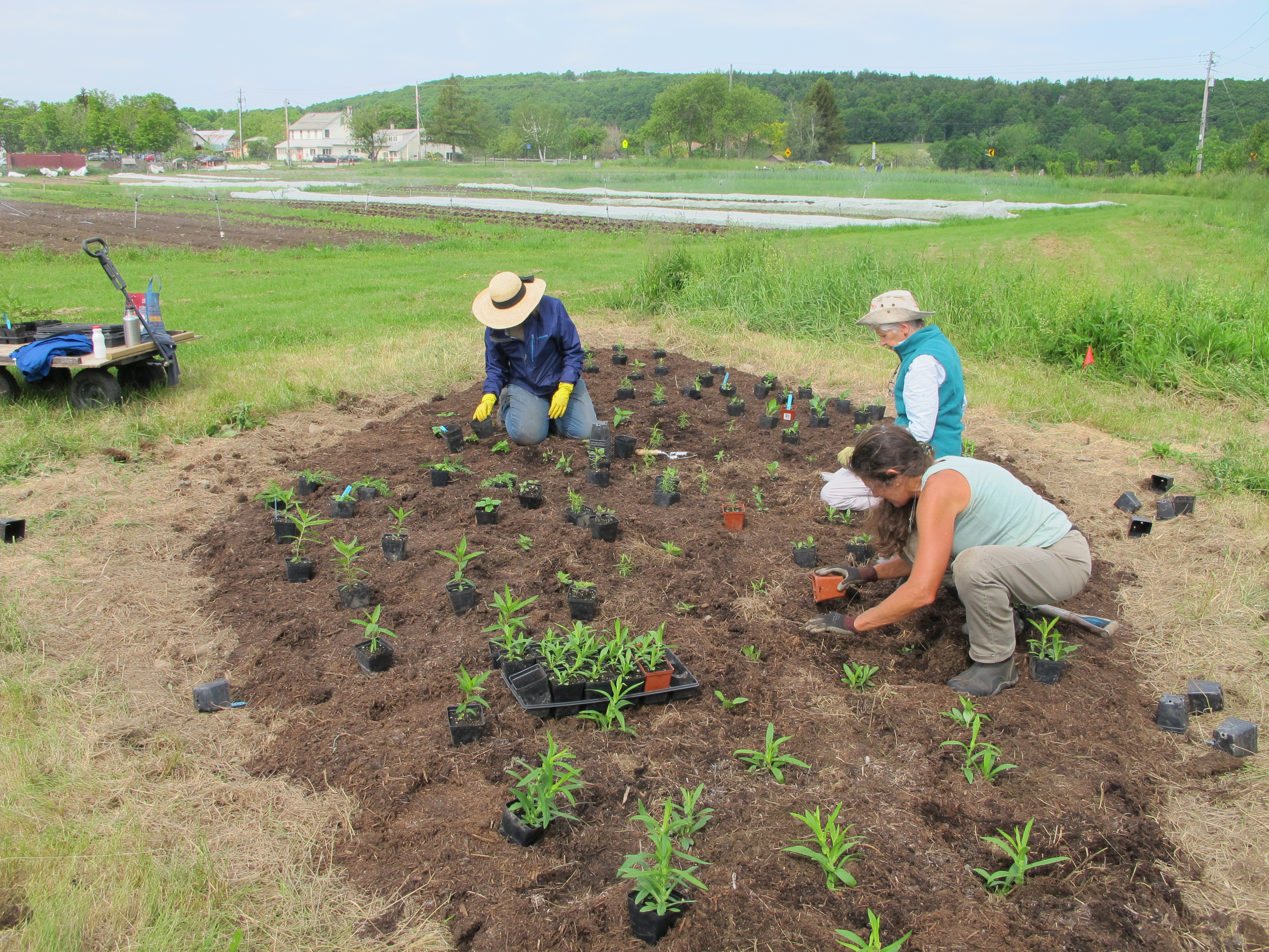 people kneeling in the soil planting small potted plants into a freshly mulched area of a cropfield