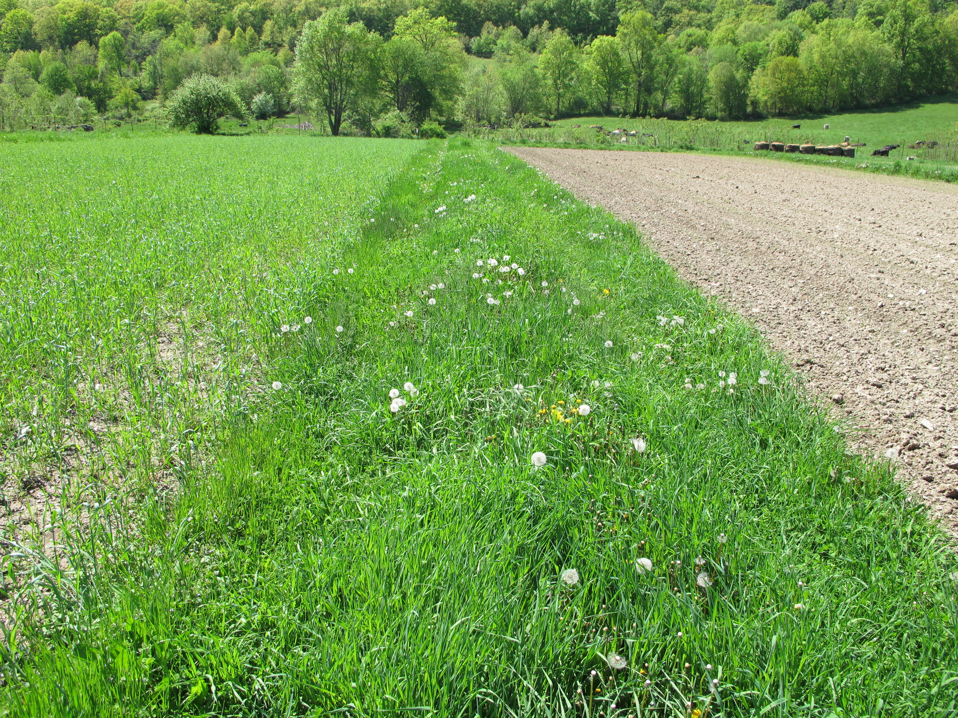 a strip of grass speckled with dandelions