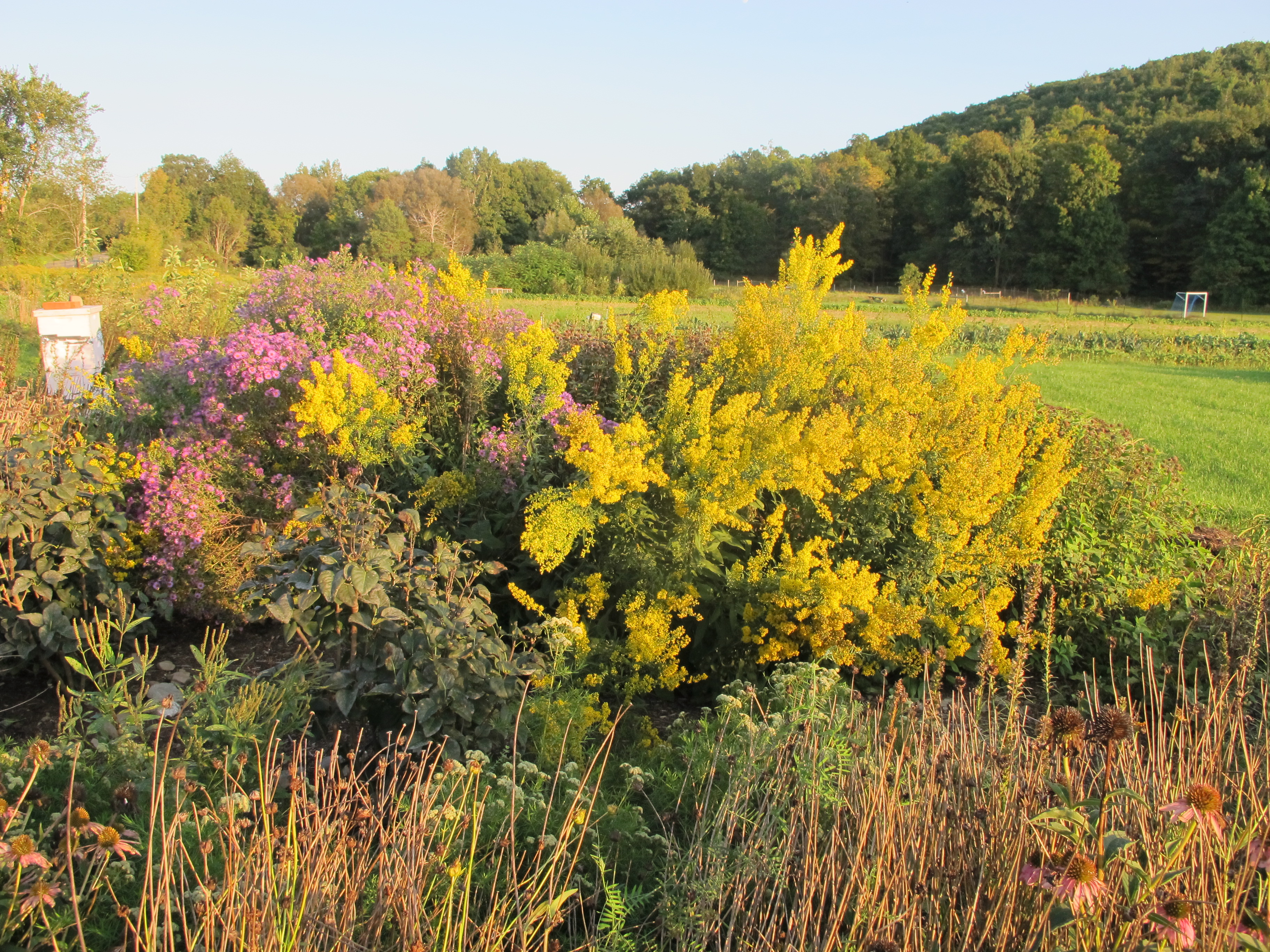 yellow goldenrod flowers spill out of the pollinator patch against a backdrop of purple aster flowers
