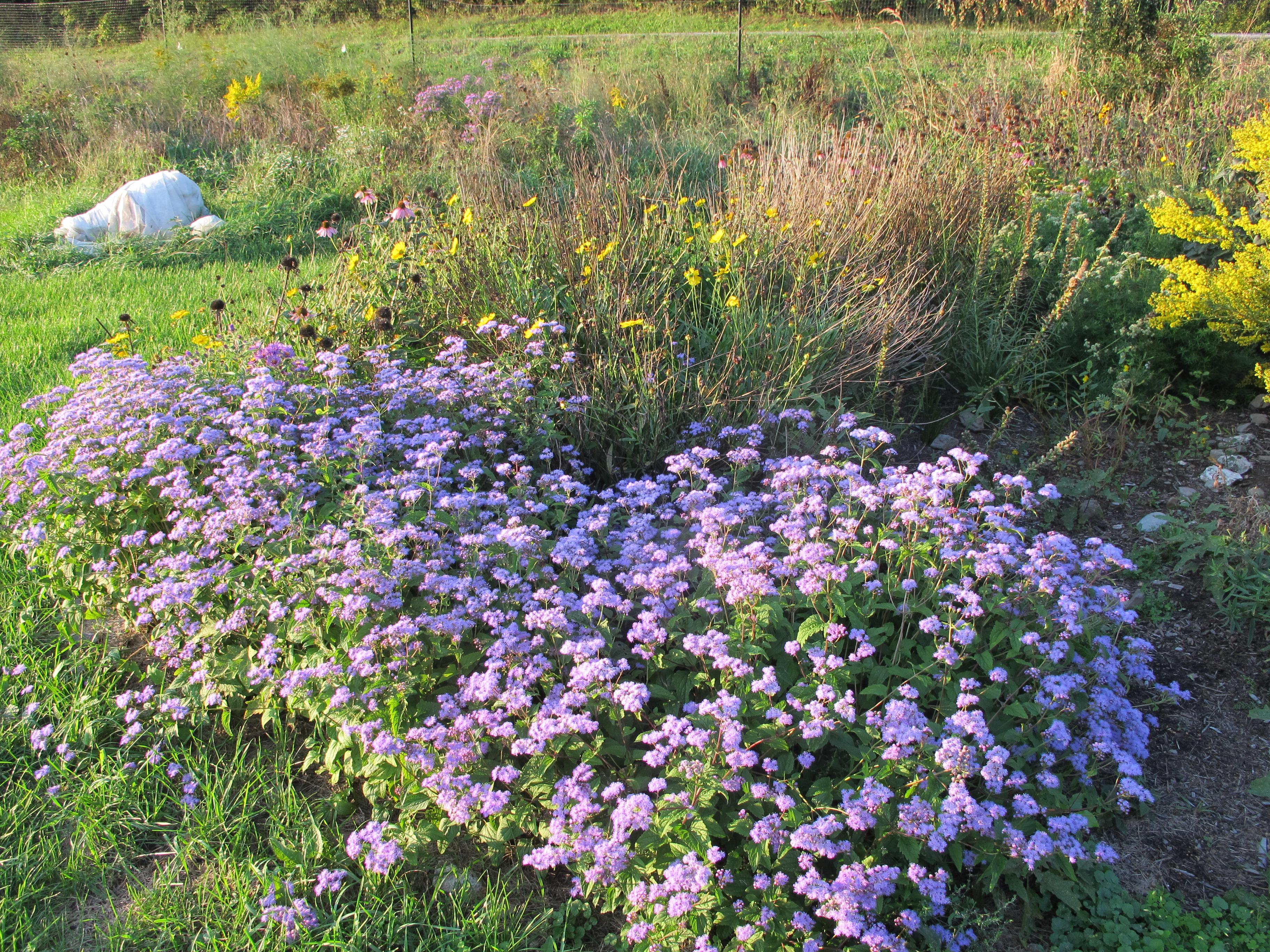 beautiful blueish purple flowers of blue mistflower
