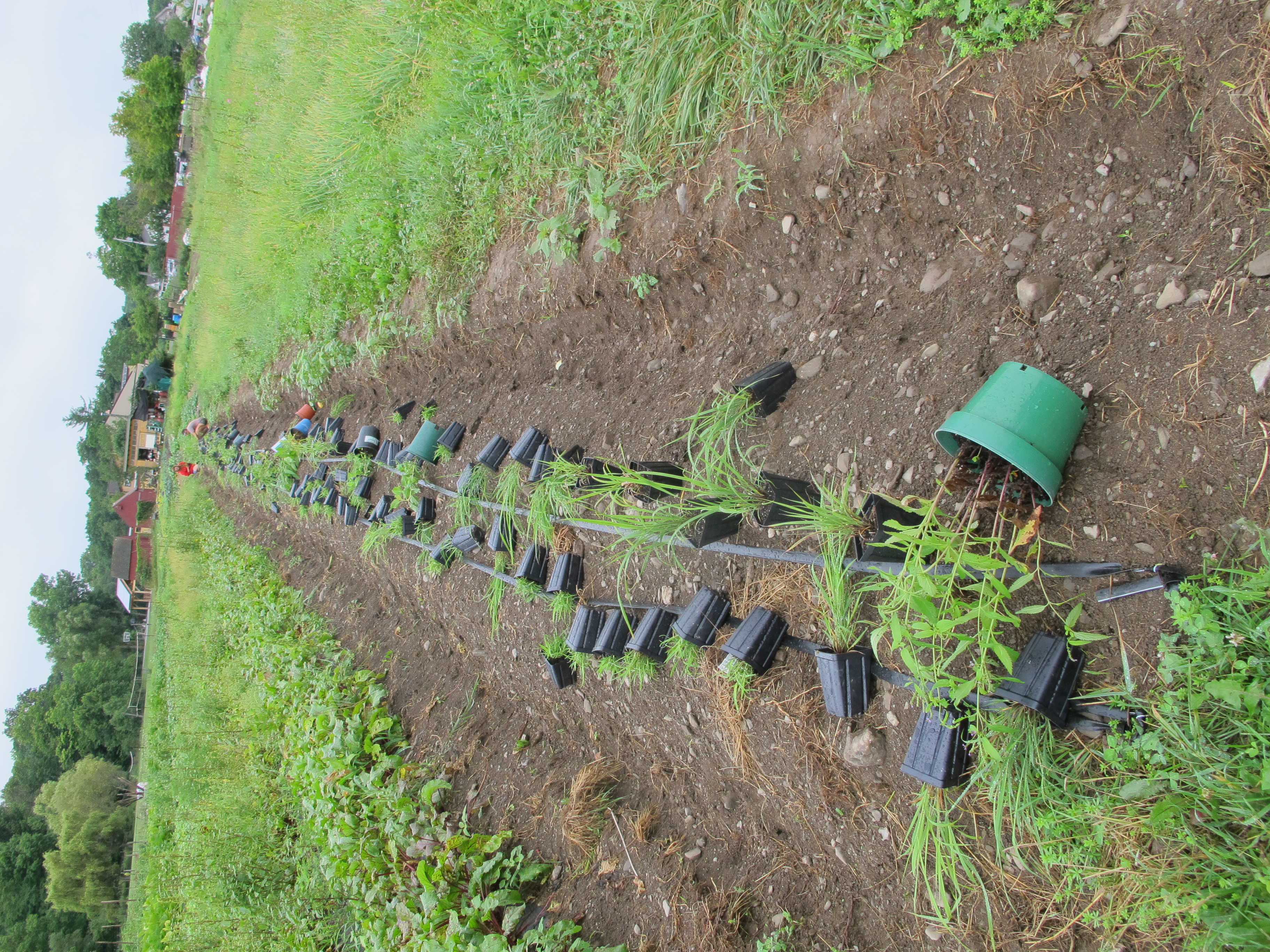 the beetle bank is long and runs parallel to the vegetable beds