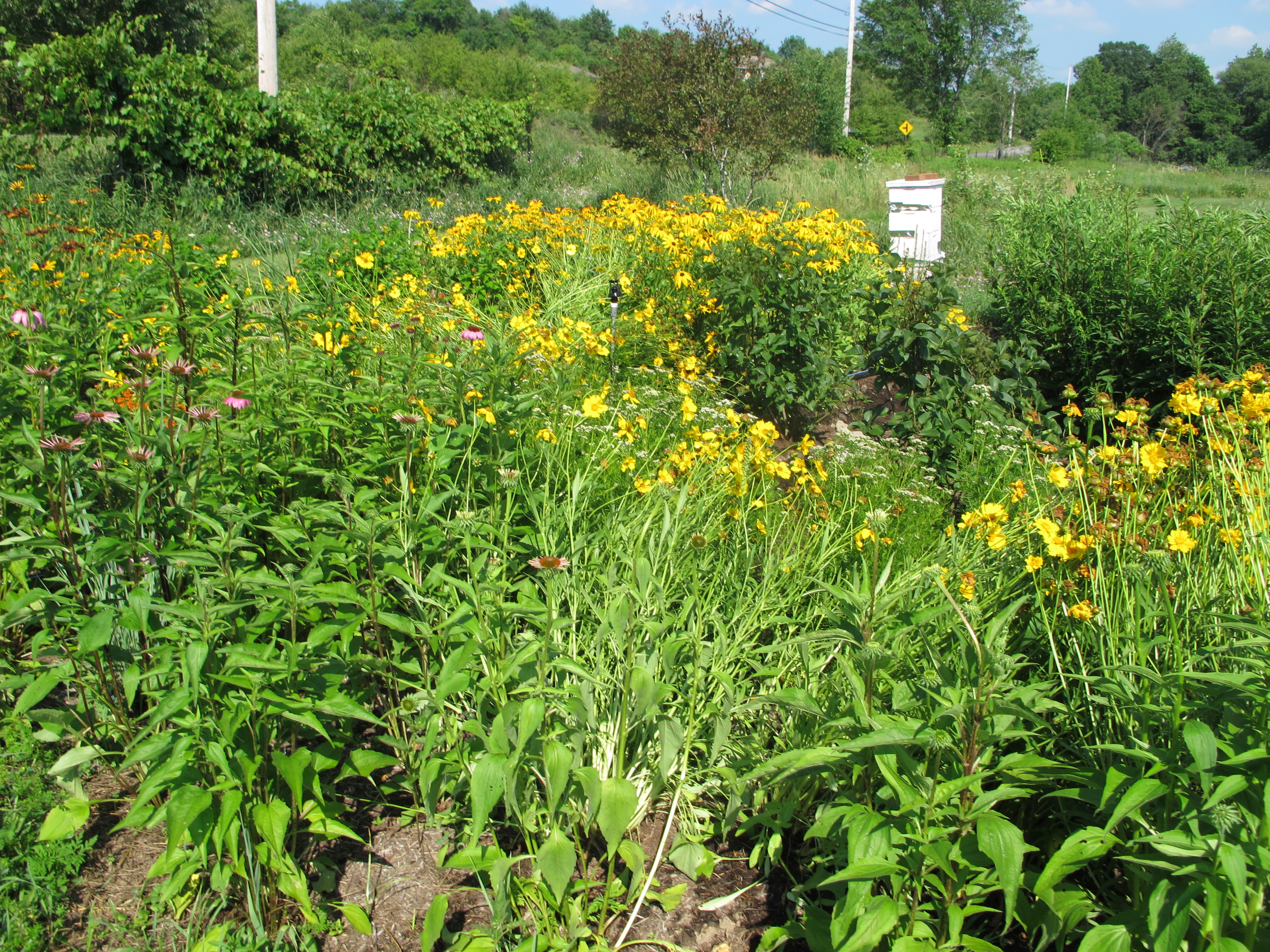pollinator path bursting with plants and colorful flowers