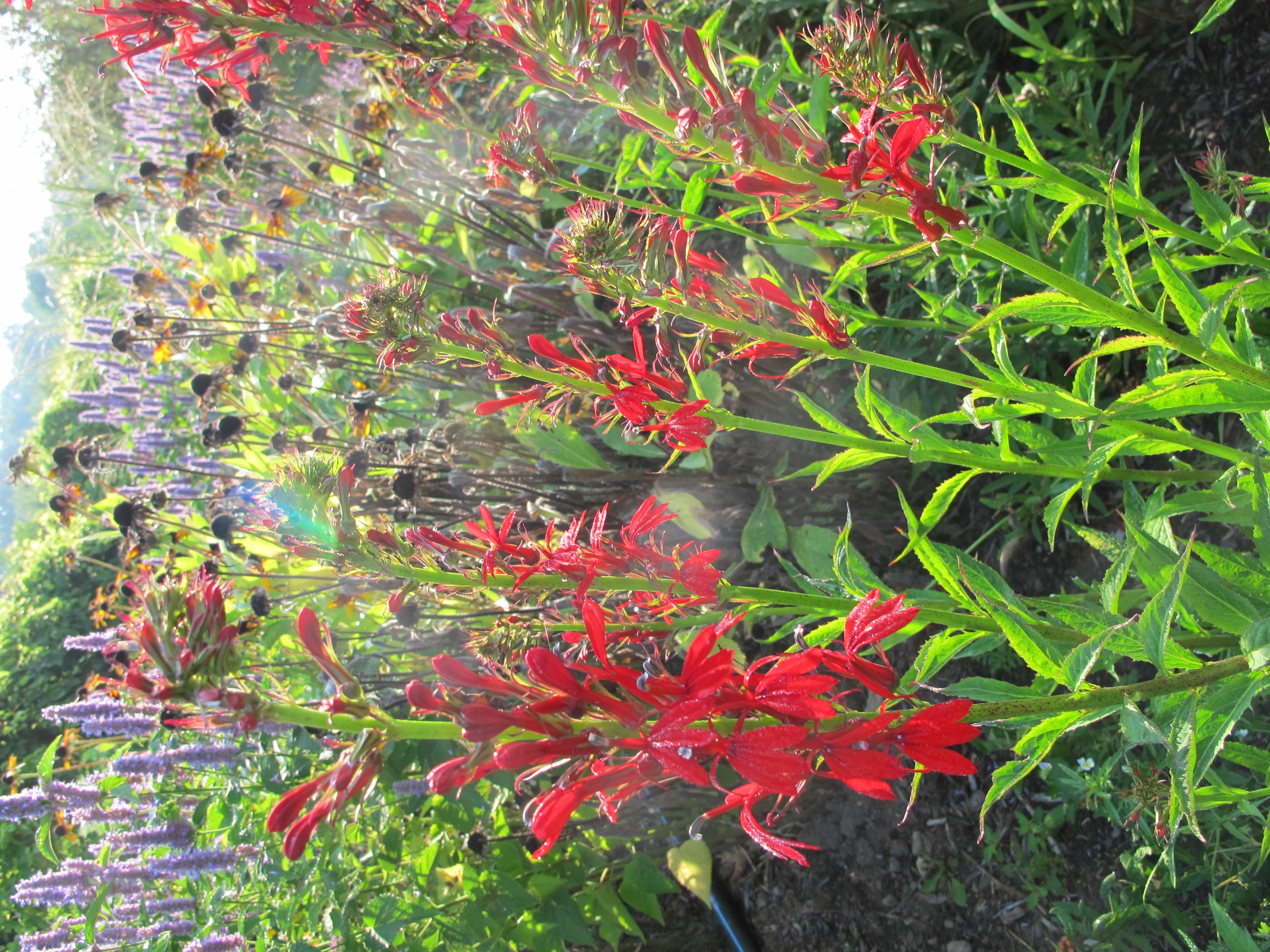beautiful red flowers of cardinal flower