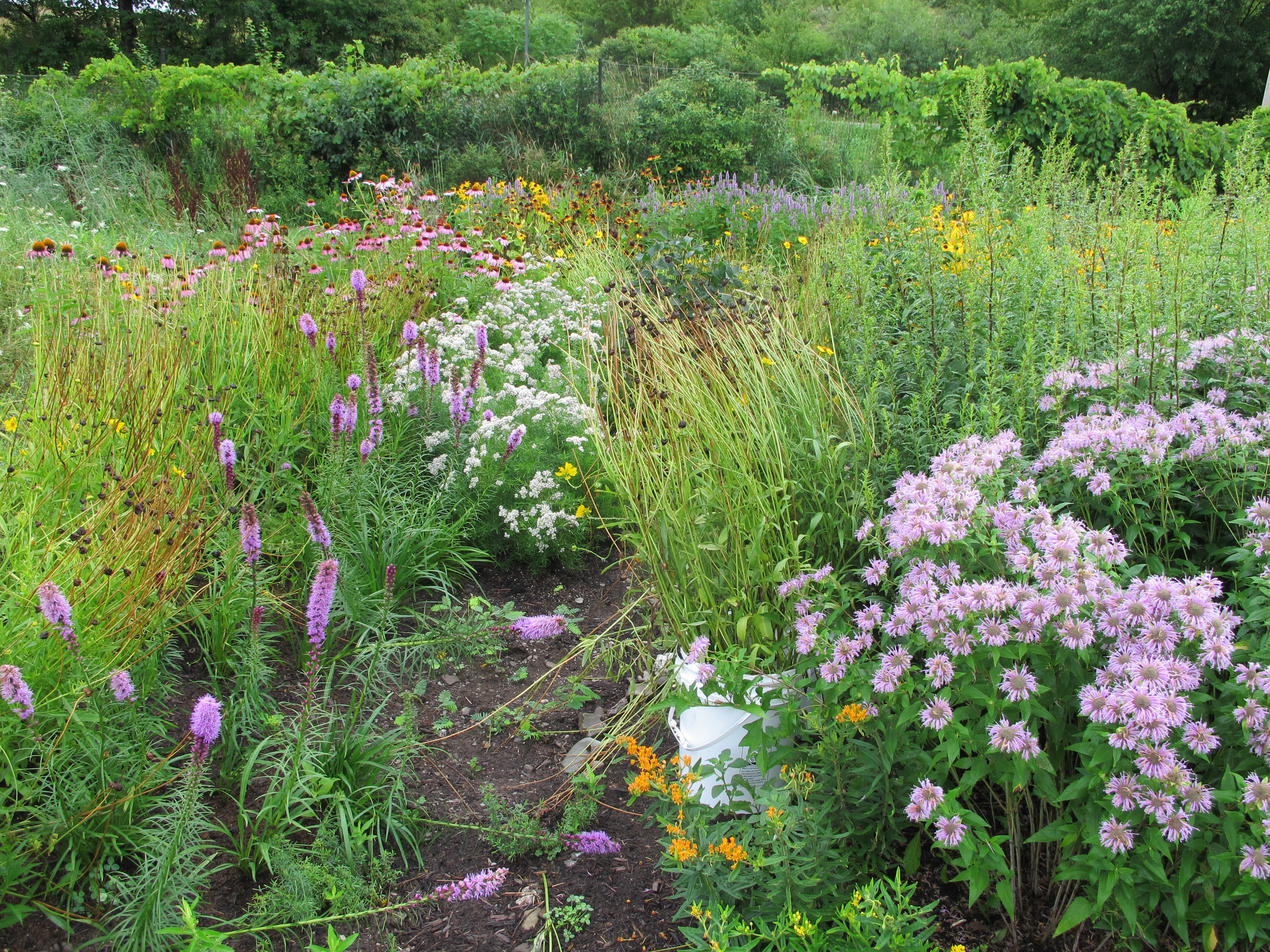 another angle of the pollinator patch shows orange milkweed flowers and white mountain mint flowers