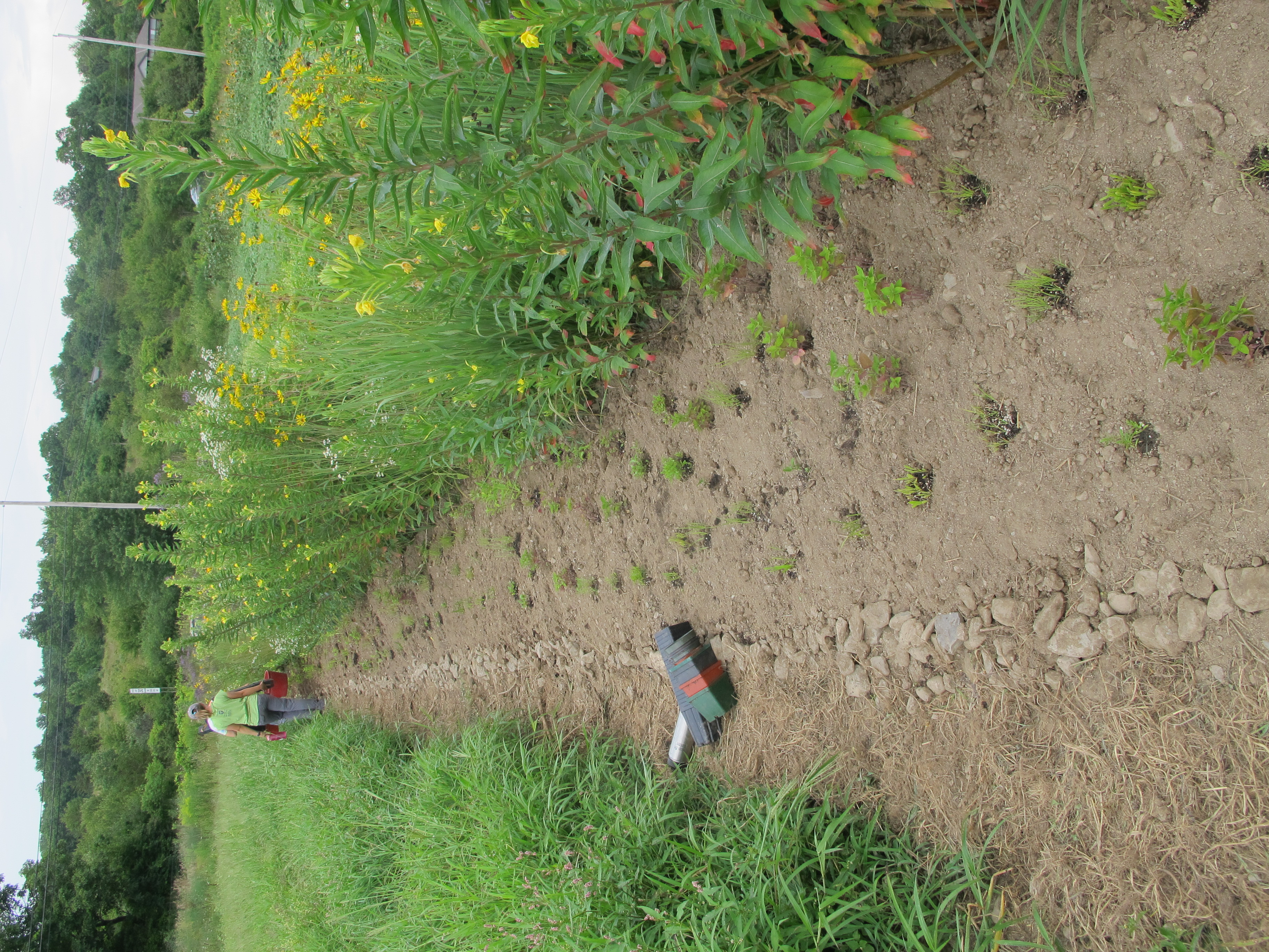 mature plants next to bare soil filled with seedlings
