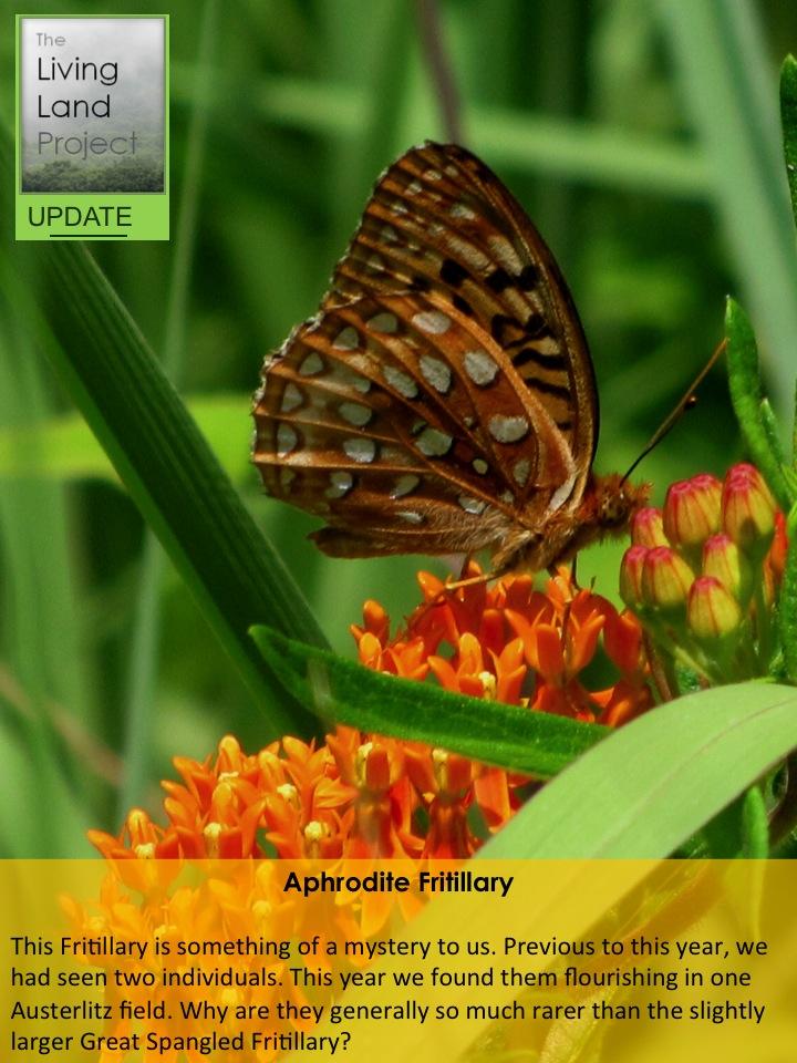 Aphrodite Fritillary