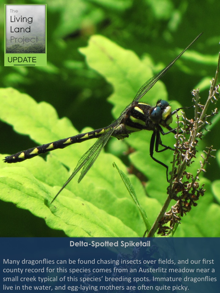 Delta-Spotted Spiketail