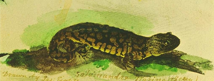 Salamander illustration