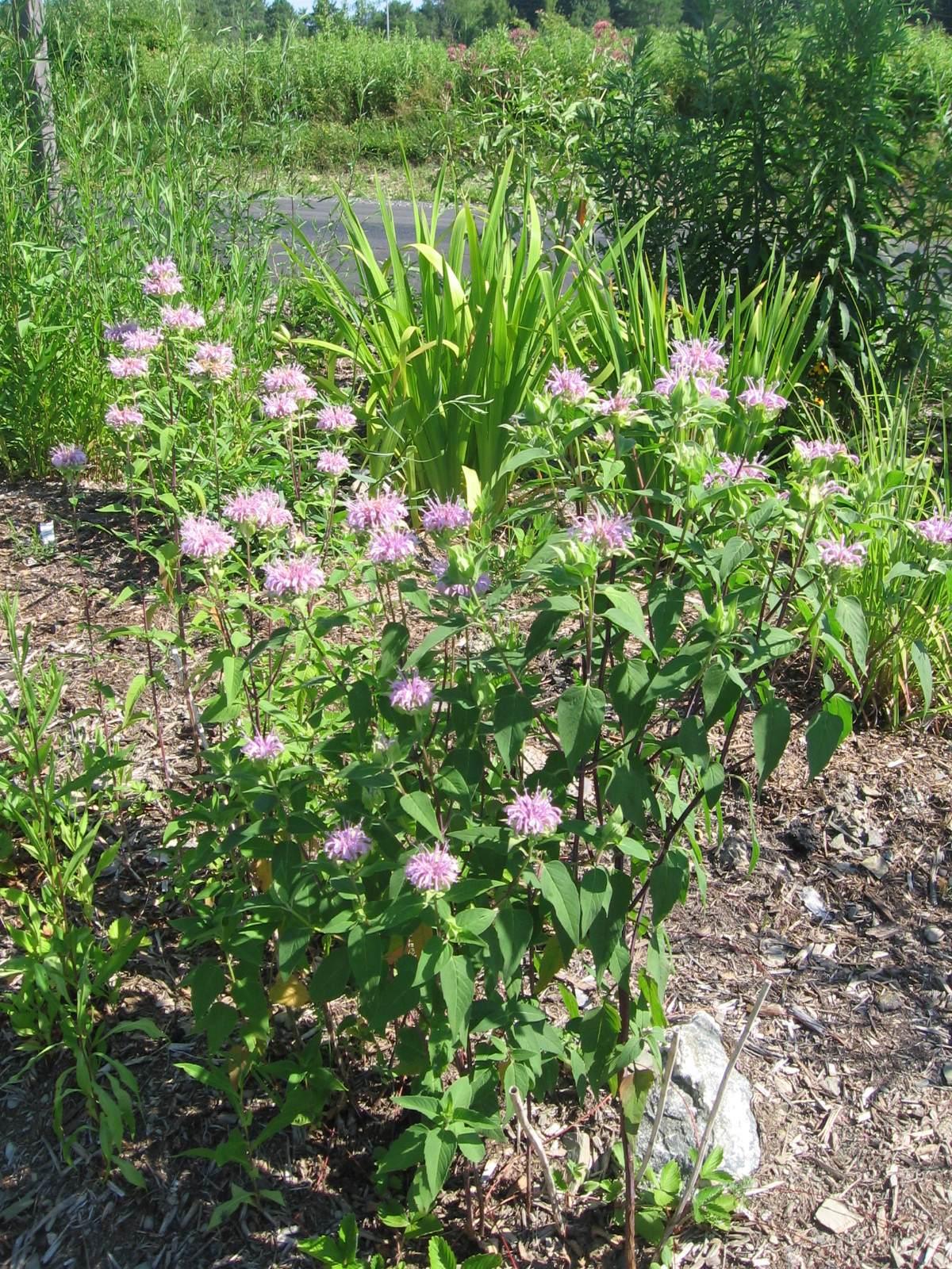 Monarda fistulosa flowers
