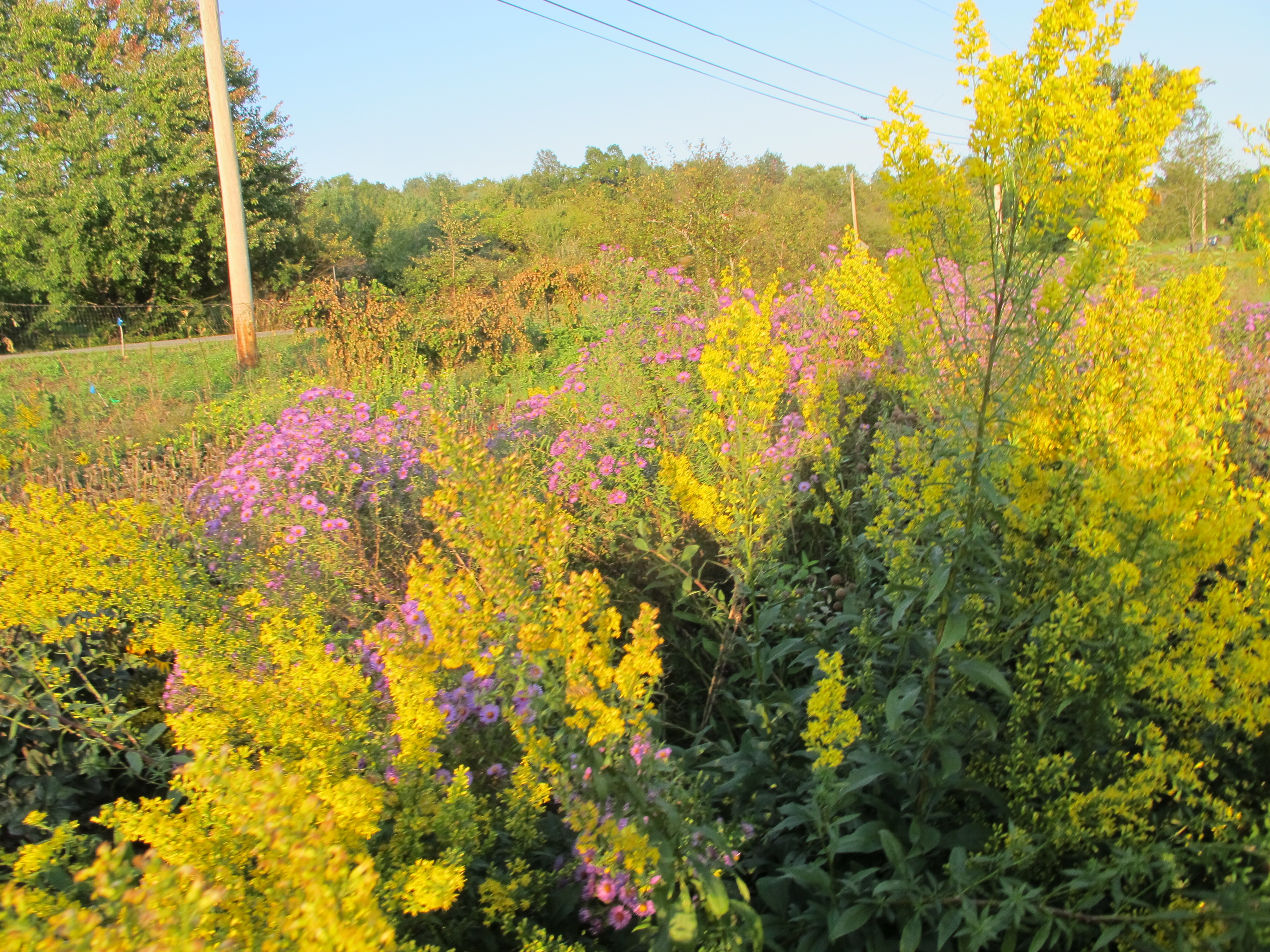 golden yellow and purple flowers